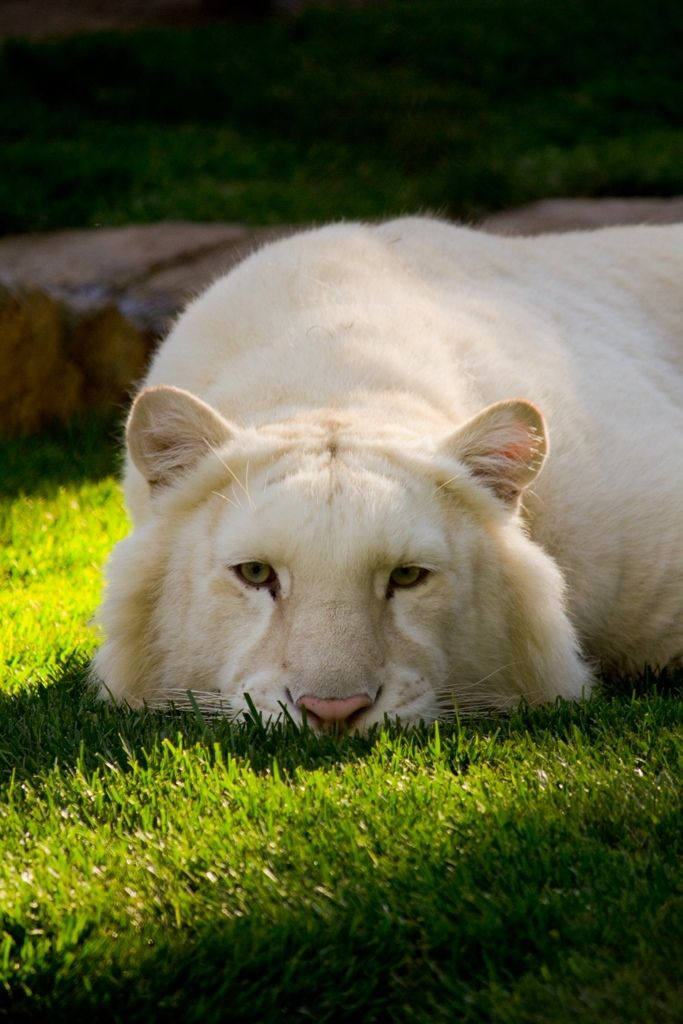 Some Golden tigers carry the White tiger gene, and when two such tigers are mated, can produce some stripeless white offspring. Both white and golden tigers tend to be larger than average Bengal tigers.