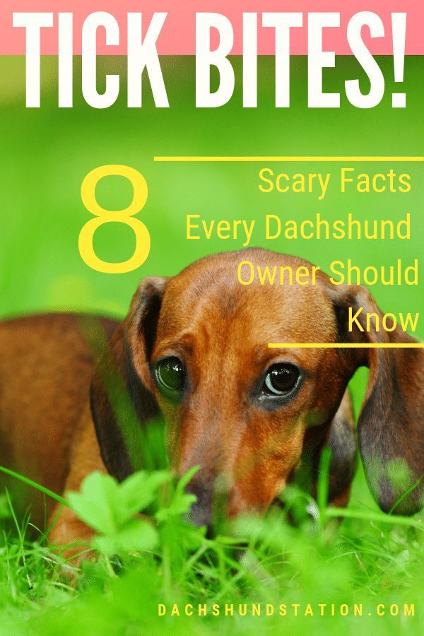 Tick Bites 8 Scary Facts Every Dachshund Owner Should Know