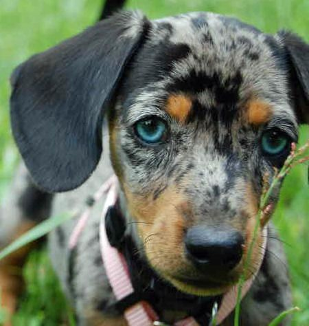 Blue-eyed dapple Dachshund. @Justin Pritchard, we need one!!!