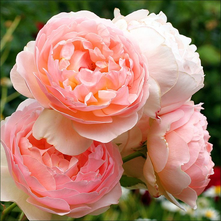 Evelyn- David Austin Rose. Planted one of these in memory of mum- hope it will be as beautiful as this!