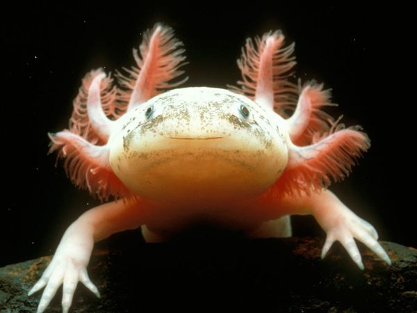 Axolotl... Mexico. Endemic to just two mountain lakes in the wild. Was once a favored Aztec delicacy. Now, it's nearing extinction.