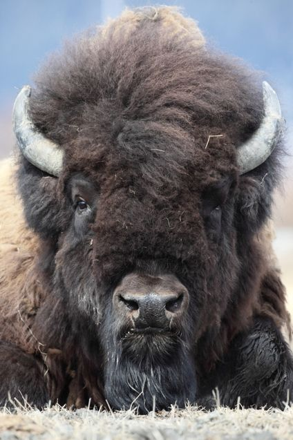 Wood Bison, the largest mammal in North America