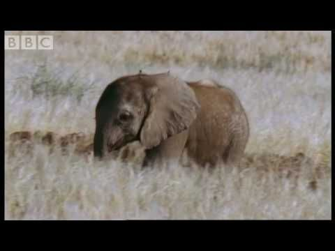 Orphan elephant baby's struggle for survival - BBC animals - YouTube