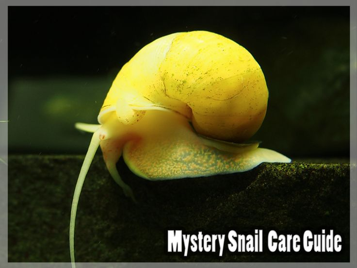 how to take care of aquatic snails