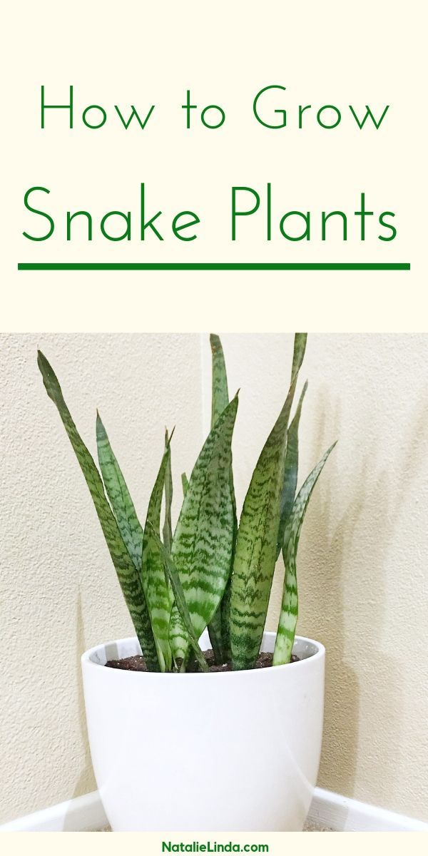 Snake Plants The Ultimate Low Maintenance Houseplant Plants Plant Care Houseplant Snake Plant