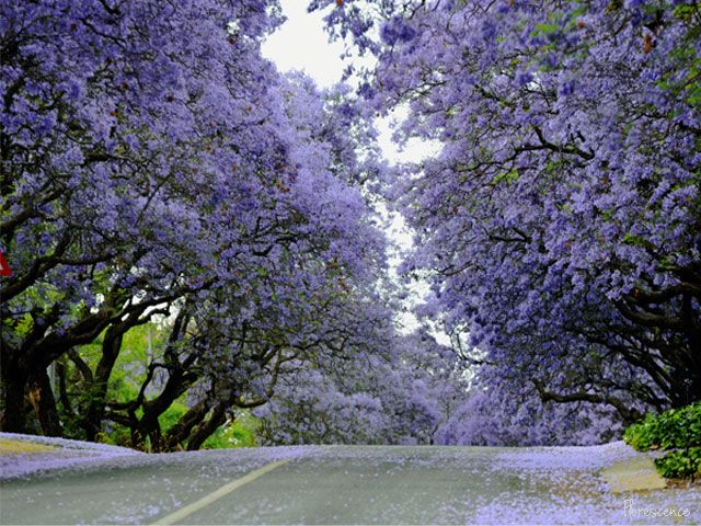 Jacarandas in bloom.  Clark Street, Brooklyn, Pretoria, (c) Florescence