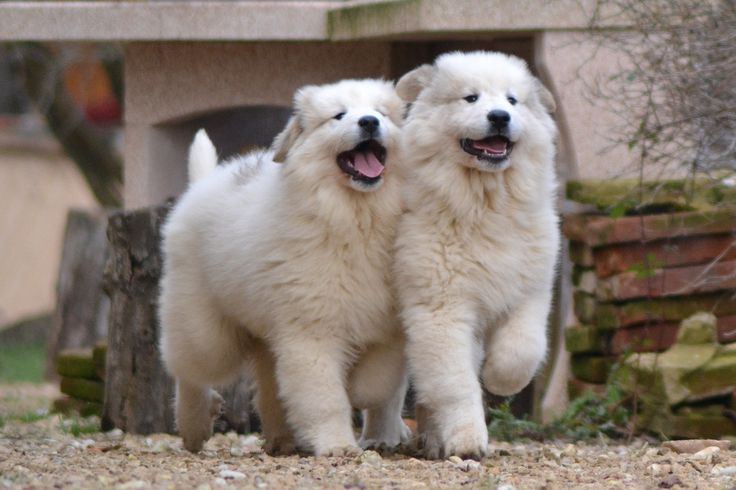 1162 best images about Great Pyrenees on Pinterest