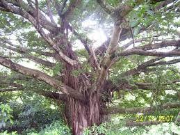 Ficus Natalensis - Coastal Strangler Fig
