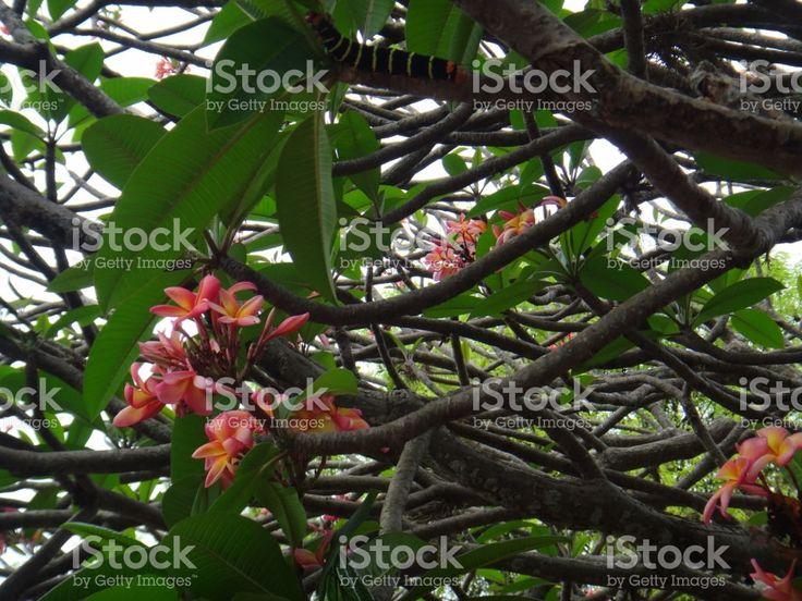 Plumeria rubra tricolor - rosa, branco e amarelo foto royalty-free
