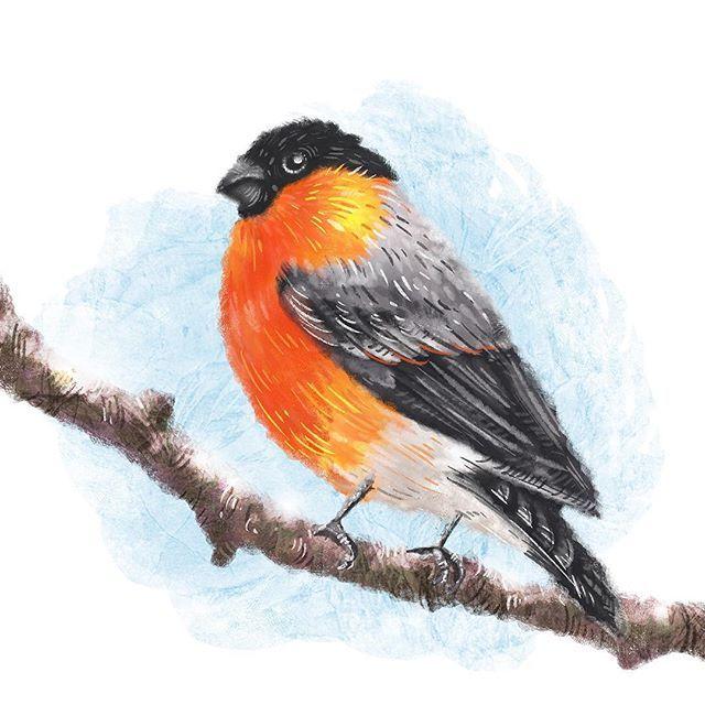 А знаете ли вы что #снегирь - певчая моногамная птица, которая хорошо переносит неволю, совершенно не знает меры в еде и несет голубые яйца? #этоинтересно  #illustration #picture #art #artwork #instaart #draw #drawing #wacom #painting #digital #digitalpainting #иллюстрация #иллюстратор #творчество #topcreator #bullfinch #прилетели #радостизимы