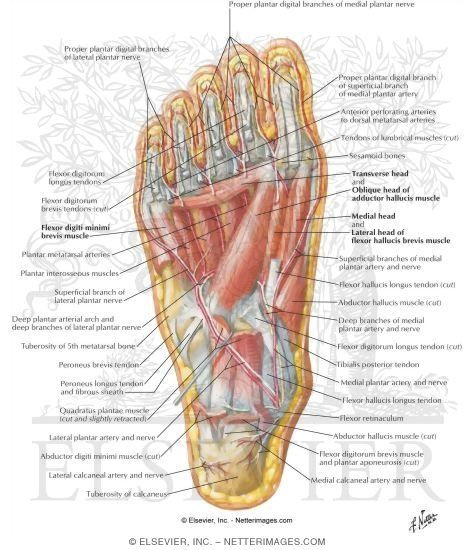 Picture Of Foot Muscles And Tendons For Manulations Muscles Of
