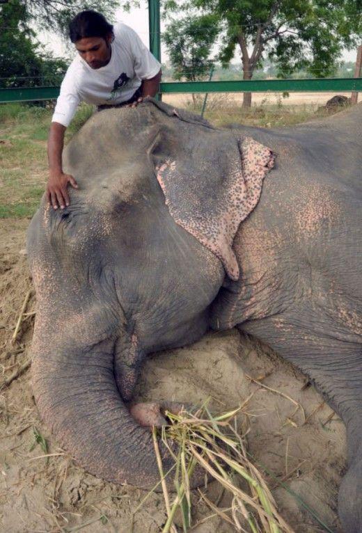 Ελέφαντας δάκρυσε όταν τον ελευθέρωσαν από τα δεσμά του μετά από 50 χρόνια