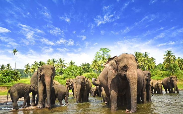 In juli & augustus vindt in het Minneriya National Park 'The Gathering' plaats. De verschillende olifantenfamilies komen dan samen en vormen de grootste kudde wilde Aziatische olifanten ter wereld! Rondreis - Natuur - Vakantie - Sri Lanka - The Gathering - Olifanten - Jeepsafari - Original Asia