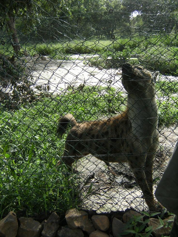 Hiena Safari a Senegal
