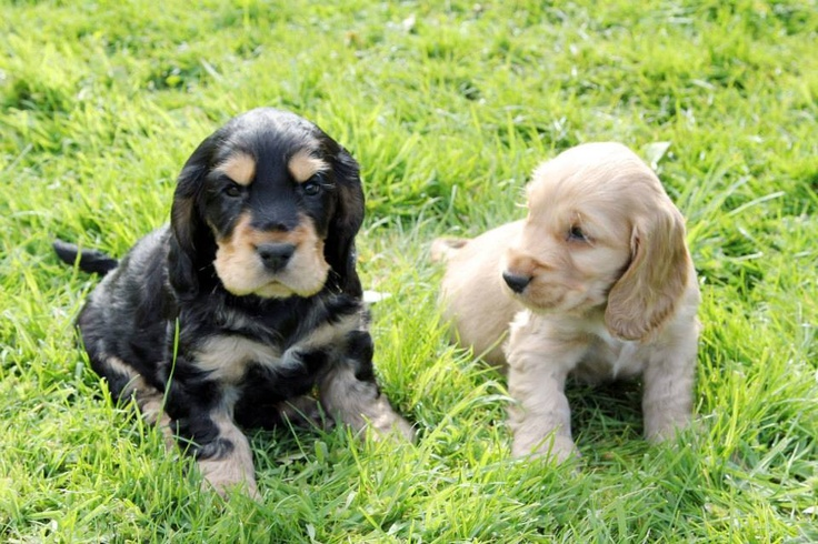 66 best images about cocker spaniel on pinterest english - Free cocker spaniel screensavers ...