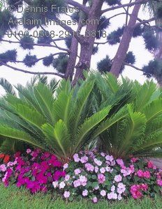 Acclaim Images - king sago palm photos, stock photos, images ...