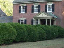 The American Boxwood is one of the best evergreen hedges to add to your property, and they can be potted for porch or patio decor.