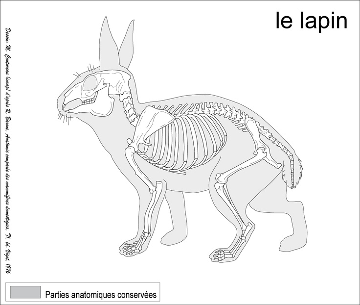 oryctolagus cuniculus european rabbit animal anatomydraw - Animal Anatomy Coloring Book