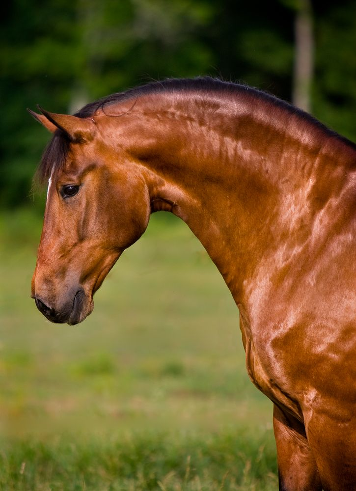 This dressage lusitano is for sale.  I want him!