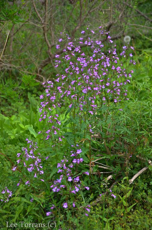 Mexican Brush Sage A Texas Perennial Blooming Now Lee