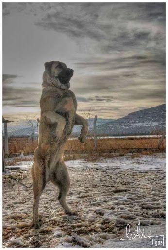 Google+Kangal köpeği-sivas.