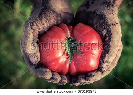 Freshly harvested tomatoes in hands - stock photo