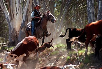 Cattle Muster in the High Country - East Gippsland - Herald-Sun