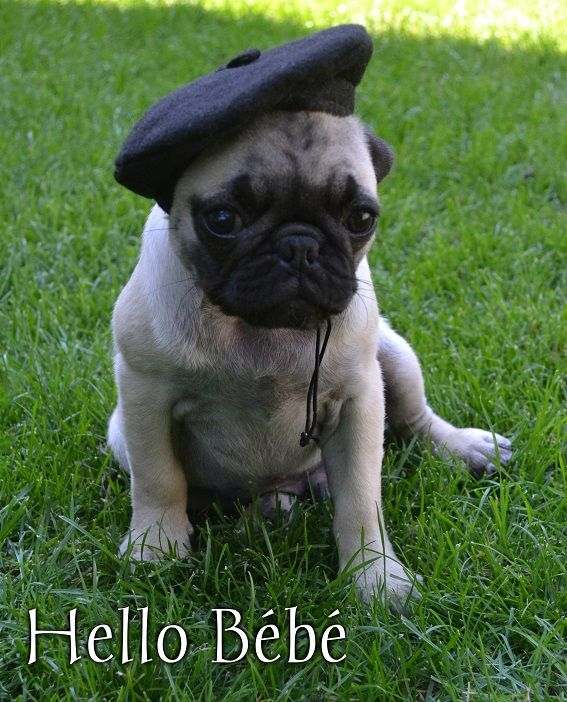 Funny Pug Dog Meme LOL Our Pug 'Le Boo'