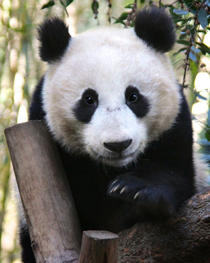 Xiao Liwu at the San Diego Zoo in California, US, on January 7, 2014. © Penny Hyde.