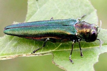 Here's How to Inspect Your Trees for Emerald Ash Borer – Entomology Today