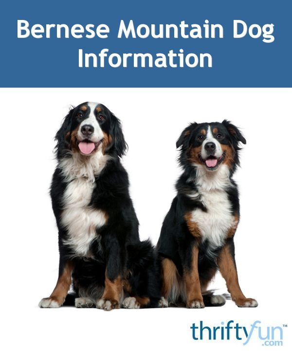 Bernese Mountain Dog Breed Information And Photos Mountain Dog