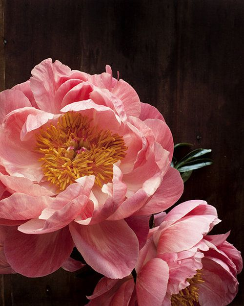 "...Okay, so the photo isn't ""great,"" but I think I'm starting to really like peonies now."