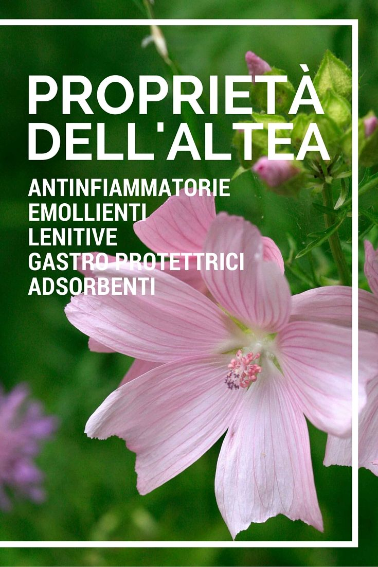 Le #PROPRIETÀ dell'ALTEA. Scoprite quali prodotti contiene la pianta #ALTEA su www.angelica.it