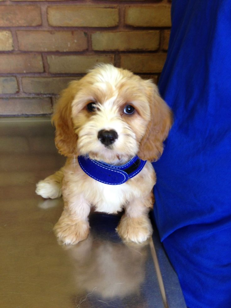 Cavapoo Dogs and puppies for sale Maine USA