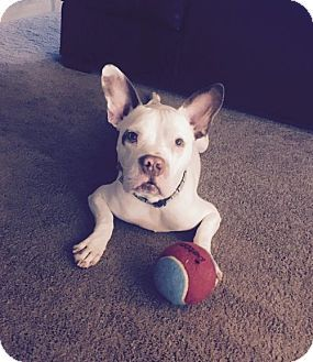 FINNIGAN -  - Courtesy Post a Pit Bull Terrier/French Bulldog Mix for adoption in Dallas, GA who needs a loving home.