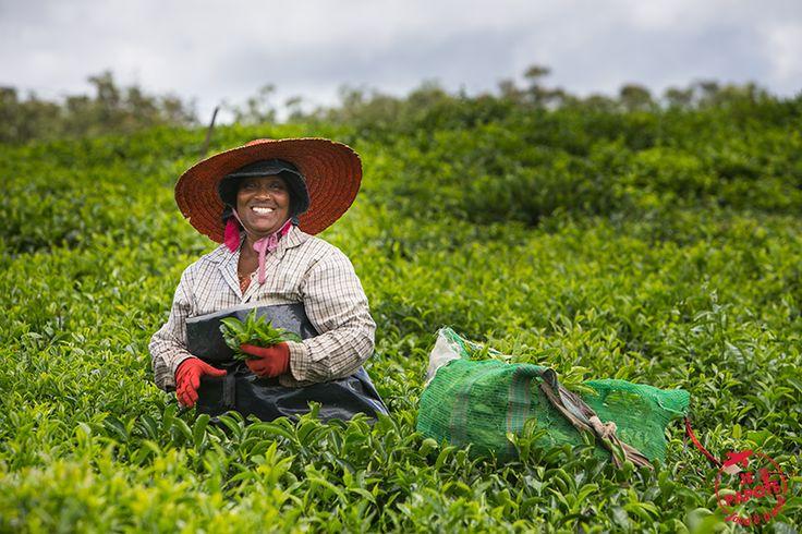 Découvrez la route du thé à l'Ile Maurice. Une excursion culturelle, historique et gastronomique pour bien comprendre l'histoire de notre ile.