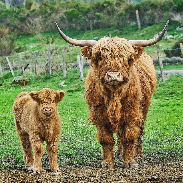 モサモサの顔に鋭く伸びたツノ…スコットランドの牛「ハイランドキャトル」は実に風変わり
