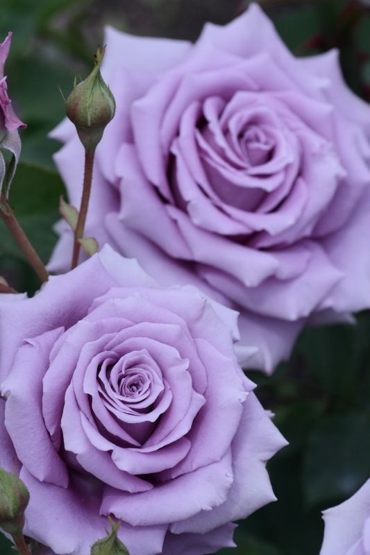 "These are similar to the roses I had in my wedding bouquet."" Sweet Moon "" - Hybrid tea rose - Lilac - Kikuo Teranishi (Japan), 2001"