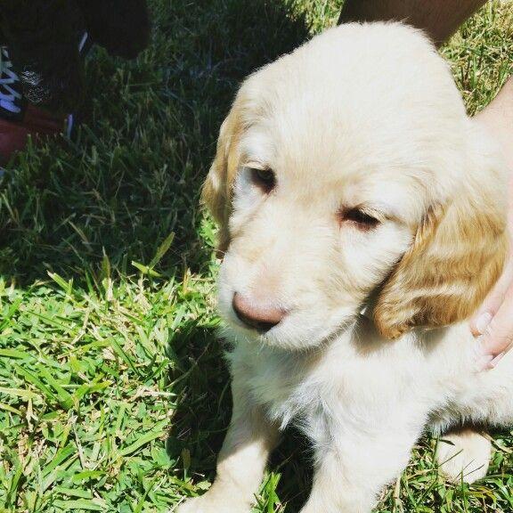Belle at 6 weeks (Goldendoodle F1B)