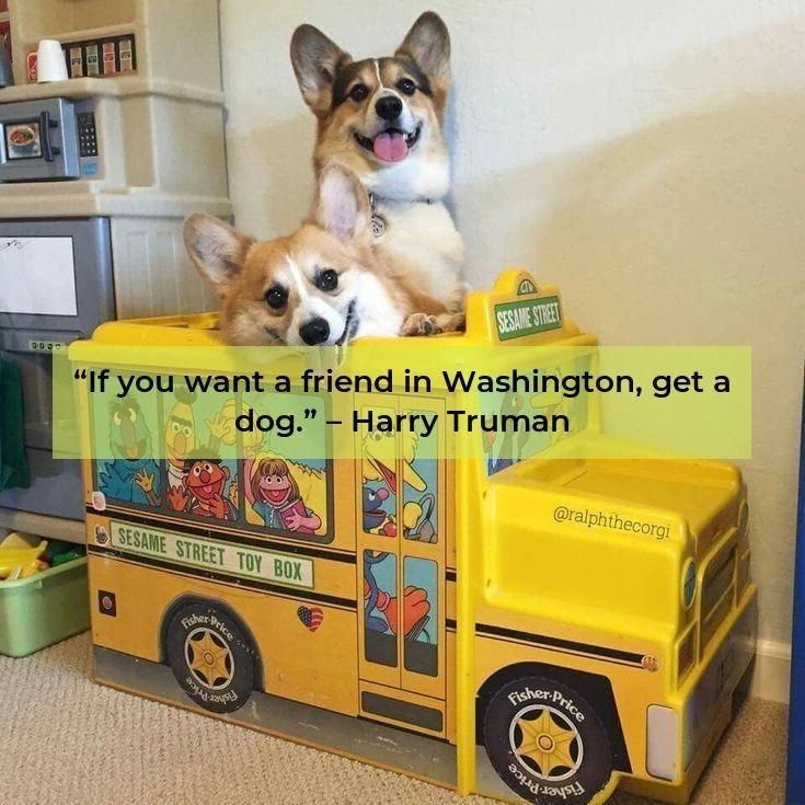 All The Things We Adore About The Cute Corgis Puppy