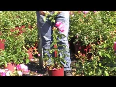 Sommerschnitt der Rosen: Viel wichtiger als nur ausputzen