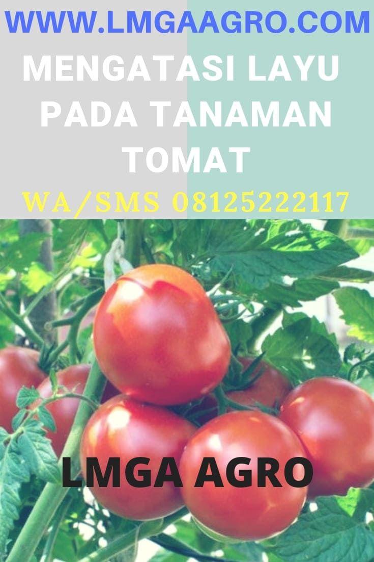 Tips Mengatasi Layu Pada Tanaman Tomat Vegetables Tomato