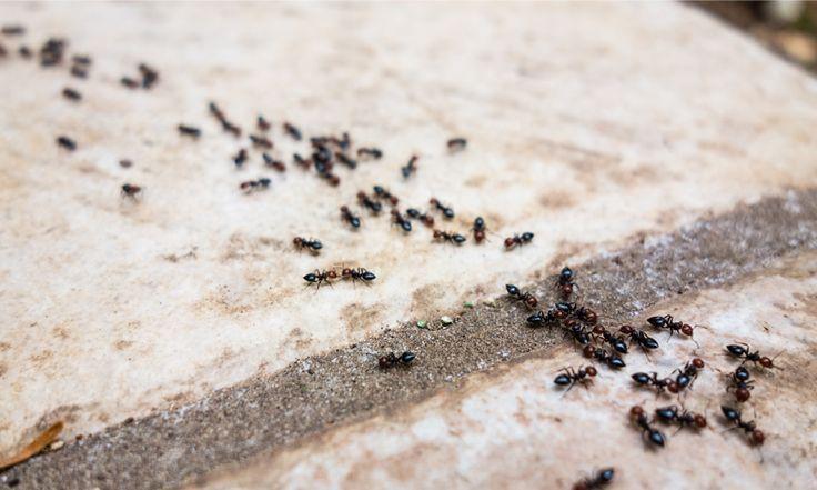 Mieren zijn over het algemeen hartstikke nuttige diertjes, maar toch heb je ze liever niet in je huis. Nu zijn er een paarhandige trucje waarmee je ze makkelijk buiten de deur kunt houden, namelijk… Tip 1: Koffiedik. Strooi op het mierenpad of bij de uitgang wat koffiedik (gewoon uit het filter) en na een/twee dagen …