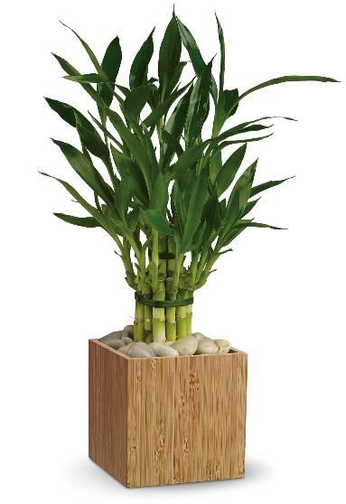 Lucky bamboo plant california pinterest - Good plants for home ...