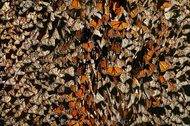 Monarch butterfly colony