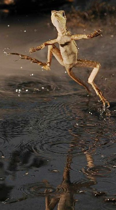 The Basilisk can run on water-amazing. Funny Pictures| Photography: The Amazing Moment Frozen in Photography