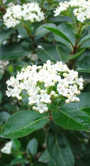 Viburnum tinus, water tolerant shrub, full sun. Grows 2-4 metres high and wide. White, fragrant flowers from Spring to early Summer.