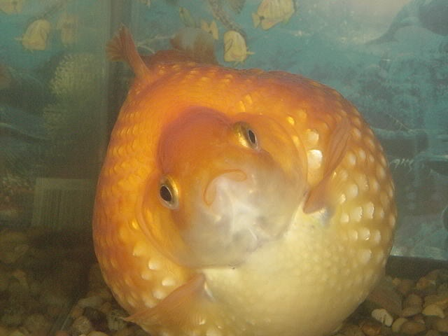 pearl scale goldfish soo cute and fat feesh