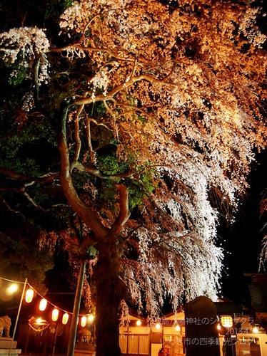 4月6日(土) 三島八幡神社のシダレザクラ ライトアップ : いわき市の四季観光ブログ