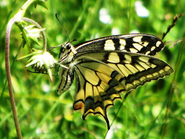 Swallowtail, Alp Valley, SZ, 03.08.17